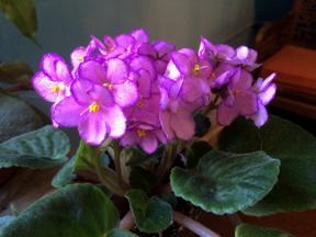 African violet...